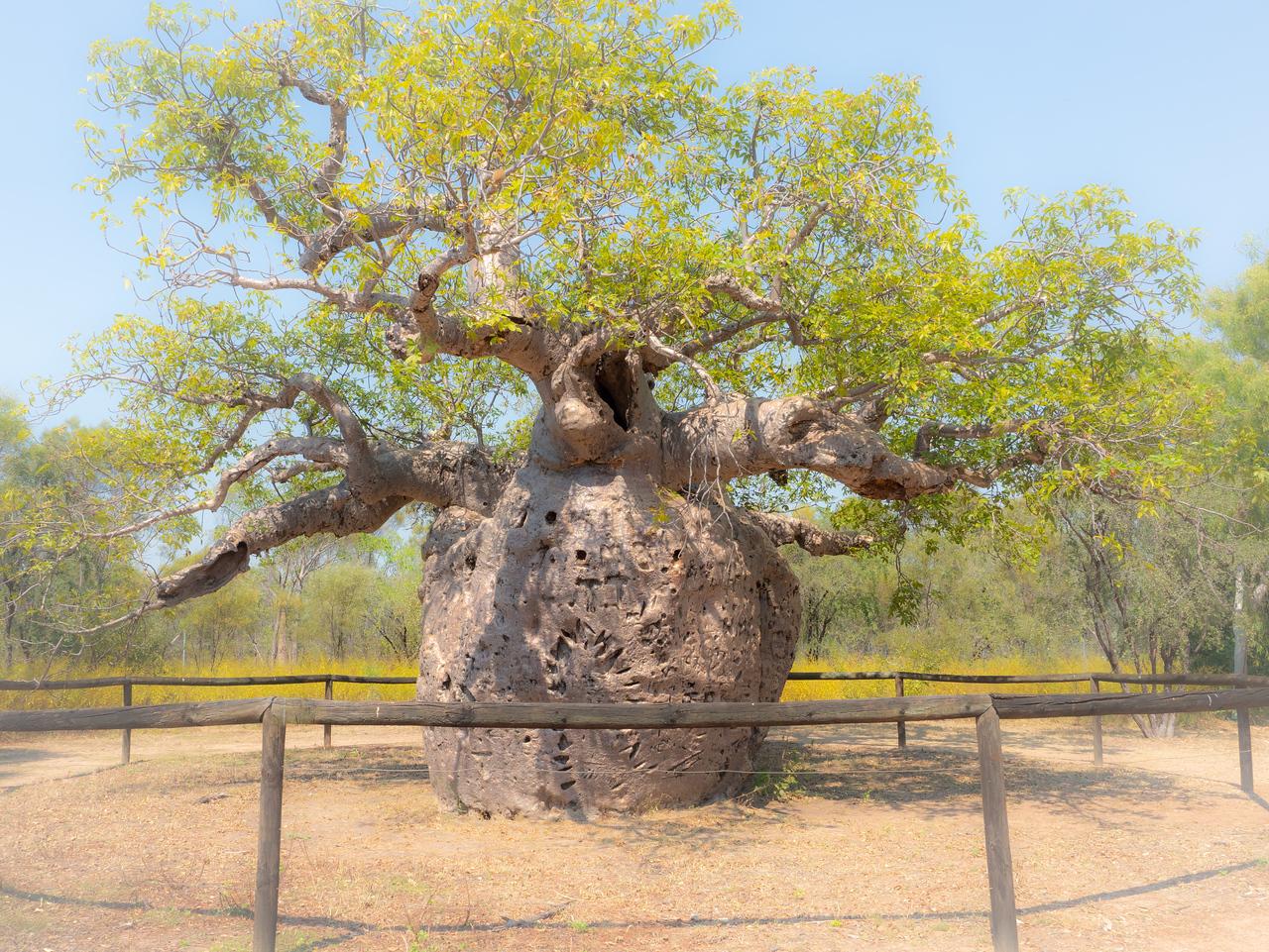The Prison Boab Tree